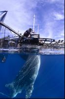 CATERS Whale Sharks Fr