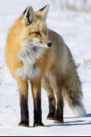 CATERS DIVING RED FOX