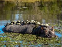 CATERS HIPPO JOY RIDE