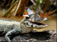 CATERS CAIMAN BUTTERFL
