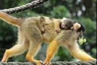 Squirrel Monkeys 10 Ph