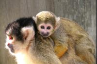 Squirrel Monkeys 13 Ph