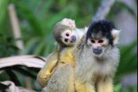 Squirrel Monkeys 15 Ph