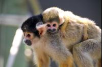 Squirrel Monkeys 1 Pho