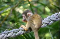 Squirrel Monkeys 2 Pho