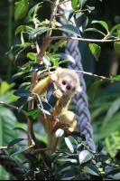 Squirrel Monkeys 4 Pho