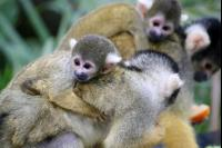 Squirrel Monkeys 6 Pho