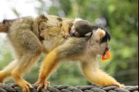 Squirrel Monkeys 7 Pho