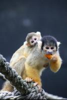 Squirrel Monkeys 8 Pho