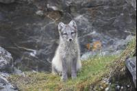 Polarfuchs Junges 64,