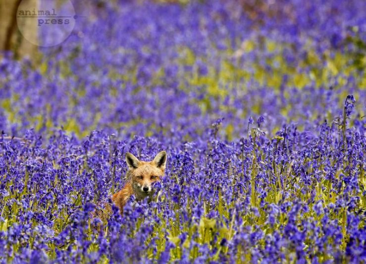 Vixen In Bluebell