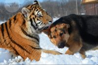 CATERS DOG AND TIGER B