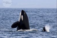 CATERS KILLER WHALE PL