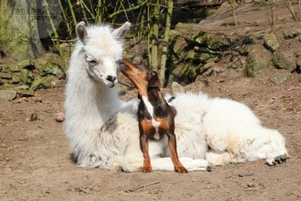 Llama loves Dachshound mongrel