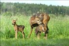 Birth Season in Roe Deer