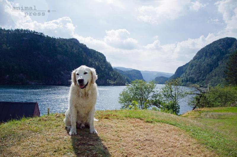 Golden Retriever als Touri-Attraktion