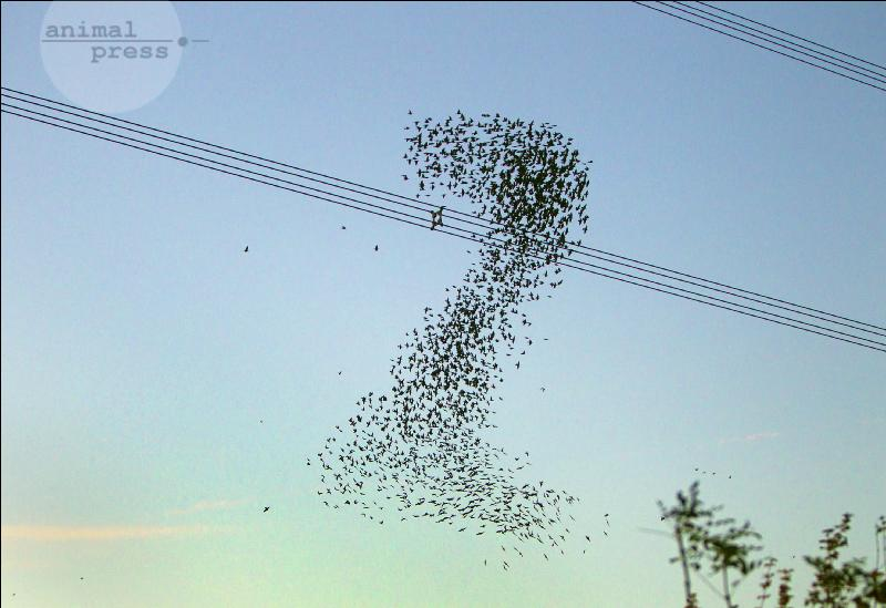 Starlings in th